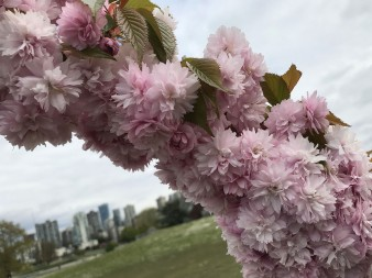 Сакура у Ванкувері
